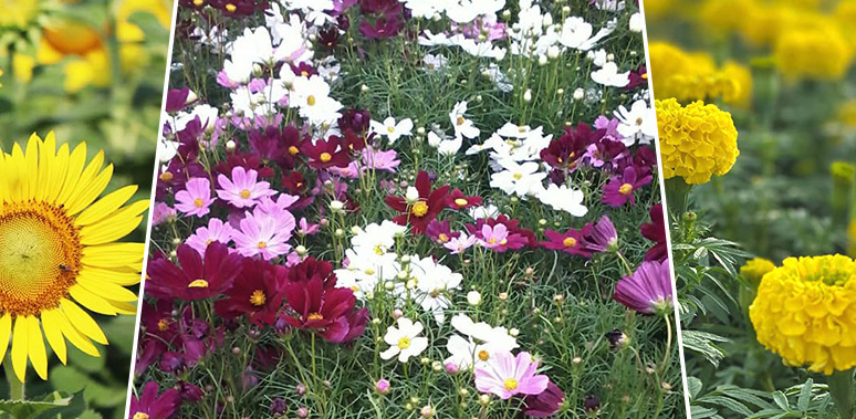 BMA Flora Festival, Bangkok with a beautiful flower field